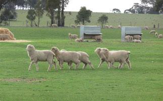sunningdale-lambs