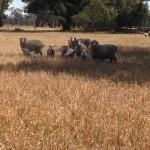 Jackman Spring Lambs