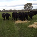 The Stewart Biodynamic Wagyu supplement feeding on hay