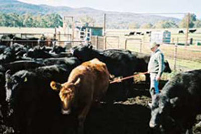 Cattle-Inspection