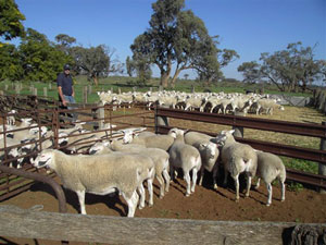 John Clothier, pictured with his ewes and lambs