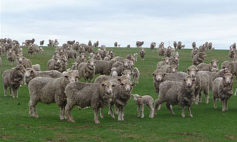 fitzpatrick_ewes