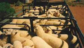 Rowena Station lamb, Broken Hill, NSW